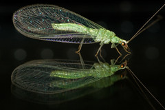 Green Lacewings - Photo (c) Stavros Markopoulos, some rights reserved (CC BY-NC-ND)