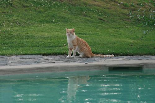 Swimming pool cat