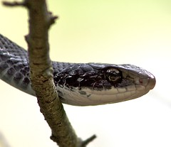 animal, snake, reptile, fauna, close-up, scaled reptile,