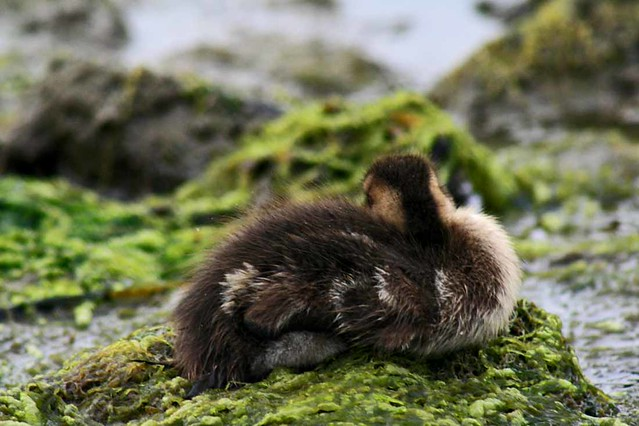 Black Baby Duckling -  Christopher D. LeClaire photo, 2008