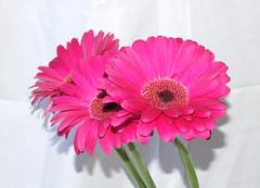 cut flowers, flower, floral design, plant, gerbera, flower bouquet, floristry, pink, petal,