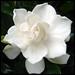 Gardenia jasminoides by Leon Verde