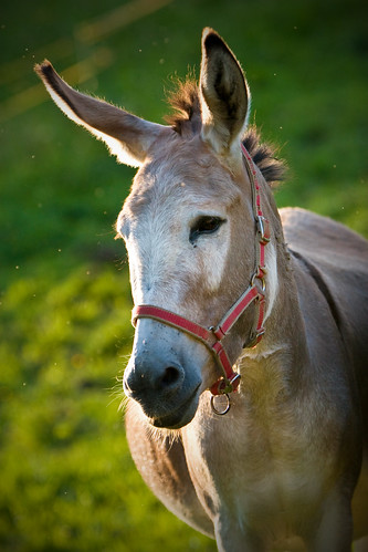 Portrait of a pregnant donkey-lady