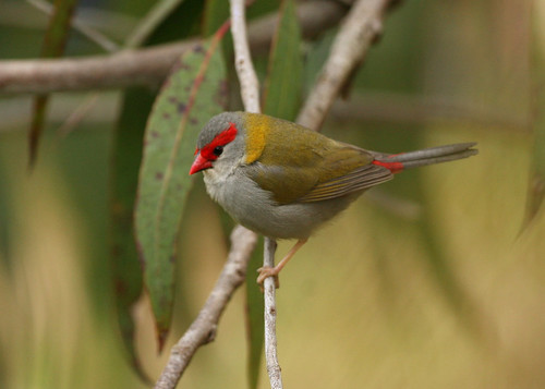 Red-browed Finch.