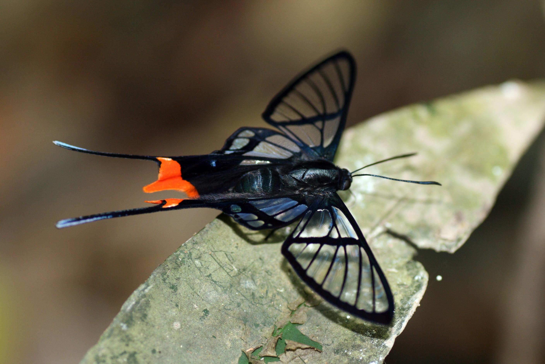 Chorinea faunus (Riodinidae: Riodininae: Riodinini)