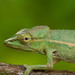 Perinet Chameleon - Photo (c) David d'O, some rights reserved (CC BY-NC-SA)