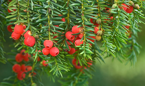 Yew - Taxus baccata