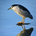 Black-crowned Night-Heron - Photo (c) Shenghung Lin, some rights reserved (CC BY-NC-ND)