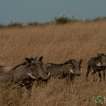 Warthog Family - Serengeti, Tanzania