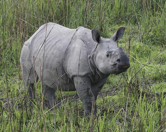 rhino cub 690V6232.jpg