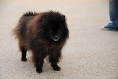 dog breed, animal, puppy, german spitz klein, dog, german spitz, mammal, keeshond, pomeranian,