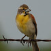 Dickcissel - Photo (c) Jerry Oldenettel, some rights reserved (CC BY-NC-SA)