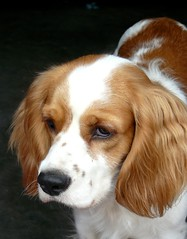 basset artã©sien normand(0.0), drentse patrijshond(0.0), english springer spaniel(0.0), dog breed(1.0), nose(1.0), animal(1.0), kooikerhondje(1.0), dog(1.0), welsh springer spaniel(1.0), king charles spaniel(1.0), brittany(1.0), spaniel(1.0), cavalier king charles spaniel(1.0), carnivoran(1.0),