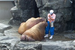 seals(1.0), sea lion(1.0), marine mammal(1.0), zoo(1.0), walrus(1.0),