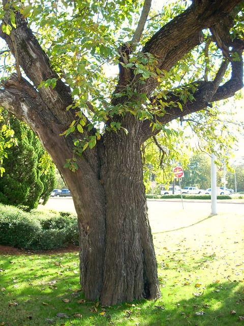 Apple Tree (horse)