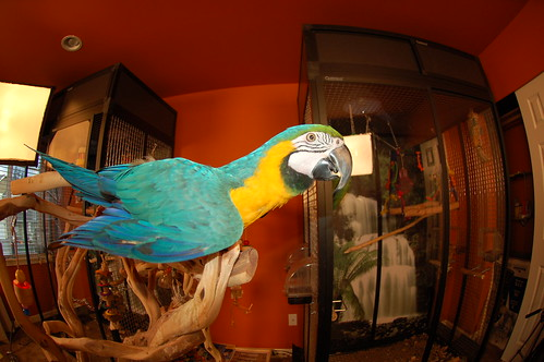 parrot training, blue and gold macaws, training macaws, training blue and gold macaws