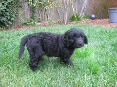 pumi(0.0), lagotto romagnolo(0.0), poodle crossbreed(0.0), miniature poodle(1.0), dog breed(1.0), animal(1.0), dog(1.0), schnoodle(1.0), pet(1.0), bouvier des flandres(1.0), cockapoo(1.0), portuguese water dog(1.0), spanish water dog(1.0), barbet(1.0), carnivoran(1.0),