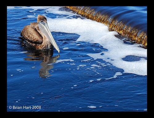 blue nature water alabama pelican waterfowl gulfshores nikond60 gulfstatepark ilovemypics afsdxnikkor1855mmf3556gvr frontpagenewsinthelatimes thechallengefactory justhitmewithyourbestshotselectedformarch2008photocontest
