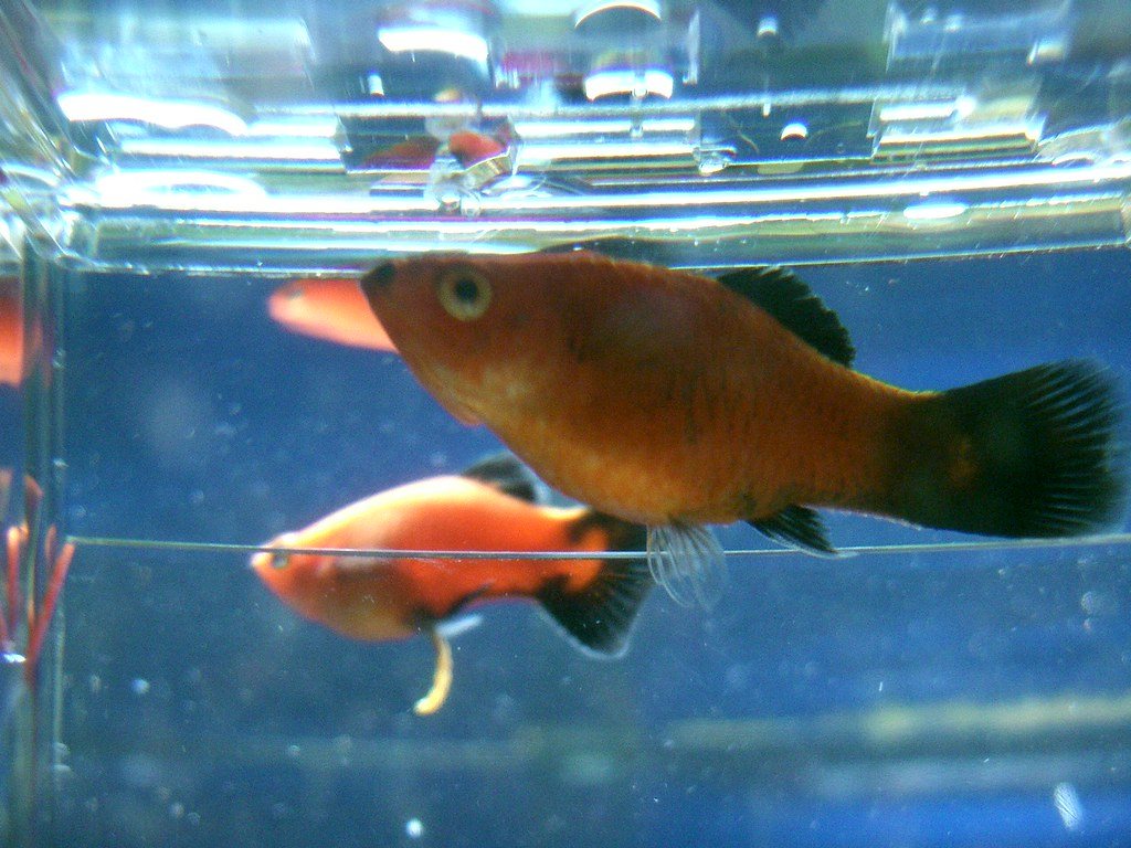 25 - pregnant platy | gil ong81 | Flickr