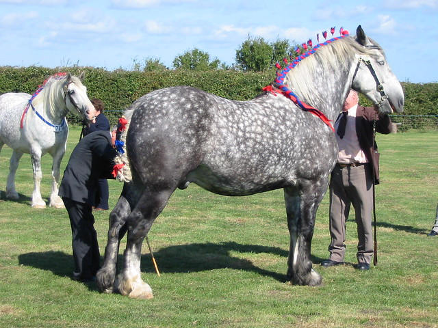 img_2108 - Two Percheron Geldings
