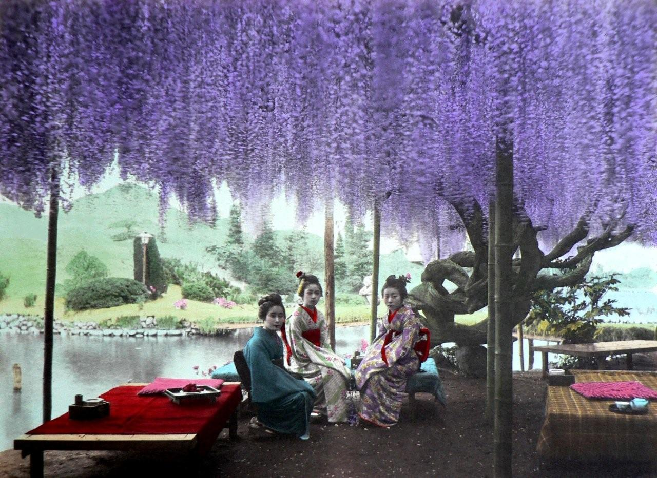 WISTERIA MADNESS -- A Creeping Curtain of Purple Flowers Descends on Three Lovely Geisha