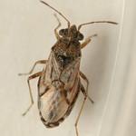 kis fényesbodobács - Nysius ericae