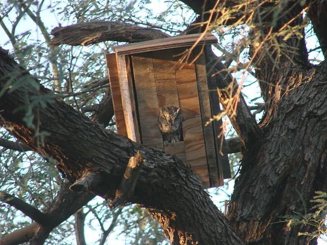 Western Screech-Owl in our yard, Tucson