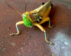 arthropod, locust, animal, cricket-like insect, yellow, invertebrate, insect, macro photography, grasshopper, fauna,