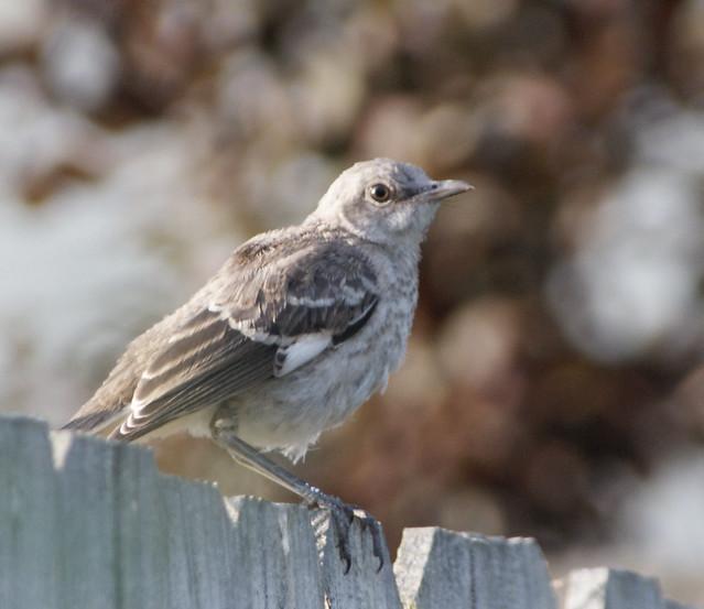 Juvenile mockingbird