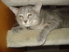 pixie-bob(0.0), american shorthair(0.0), korat(0.0), manx(0.0), animal(1.0), tabby cat(1.0), british shorthair(1.0), small to medium-sized cats(1.0), pet(1.0), mammal(1.0), burmilla(1.0), european shorthair(1.0), chartreux(1.0), cat(1.0), whiskers(1.0), russian blue(1.0), domestic short-haired cat(1.0),