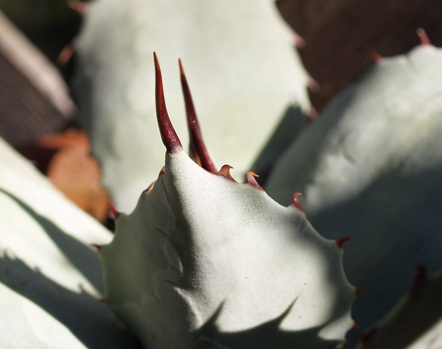 Header of Agave parryi