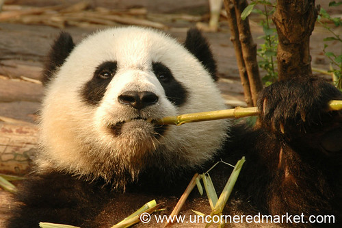 Panda Eats Bamboo - Chengdu, China