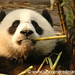 Panda Eats Bamboo - Chengdu, China