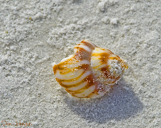 Siesta Beach shell_2891