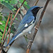 Black-throated Blue Warbler - Photo (c) Jerry Oldenettel, some rights reserved (CC BY-NC-SA)