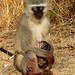 Birth of Vervet Monkey. by Arno Meintjes Wildlife