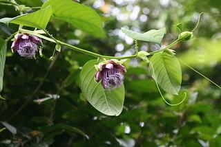 Passiflora quadrangularis (Passifloraceae)