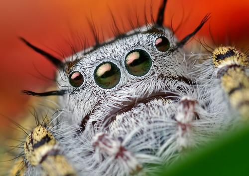 Phidippus mystaceus araignée photo macro