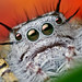 Adult Female Phidippus mystaceus Jumping Spider by Thomas Shahan