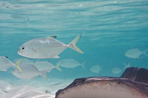 sea fish water underwater stingray bahamas southernstingray ewamarine dasyatisamericana ewamarineuaxp