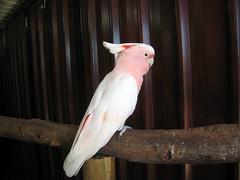 sulphur crested cockatoo(0.0), cockatoo(1.0), animal(1.0), wing(1.0), pet(1.0), fauna(1.0), cockatiel(1.0), beak(1.0), bird(1.0),