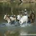 Oxen on the River - Toungoo, Burma