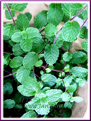 Mentha spicata (Garden Mint, Common Mint, Spearmint, English Mint), at our backyard, May 29 2011