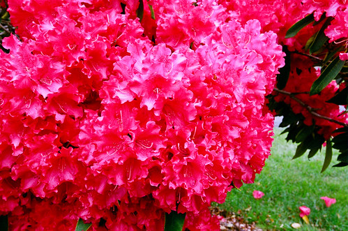 nikonf100 flowersplants kodakportra800 cliffordhamptonphotographywoodlandwashington3606906604 nikon1635mmf4vr