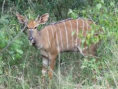 animal, prairie, antelope, mammal, fauna, kudu, bongo, wildlife,