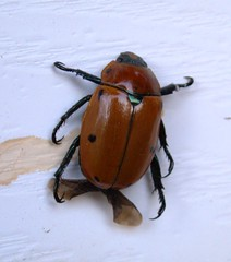 arthropod, scarabs, animal, invertebrate, insect, dung beetle,