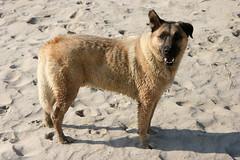 dingo(0.0), west siberian laika(0.0), czechoslovakian wolfdog(0.0), shikoku(0.0), norwegian elkhound(0.0), greenland dog(0.0), tervuren(0.0), belgian shepherd malinois(0.0), korean jindo dog(0.0), wolfdog(0.0), saarloos wolfdog(0.0), dog breed(1.0), animal(1.0), dog(1.0), pet(1.0), street dog(1.0), carnivoran(1.0),