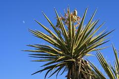 Mojave Yucca moon