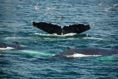 animal, marine mammal, whale, sea, marine biology, humpback whale,