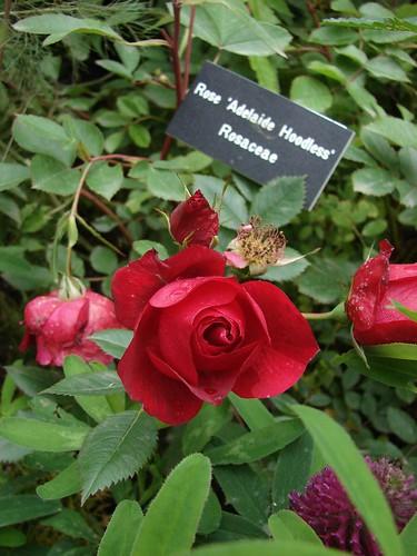rosaceae rosa